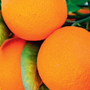 cedra apels