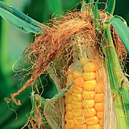kukuruza 11